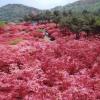 2018年の徳仙丈山のツツジが満開間近!今週中には満開になる予想